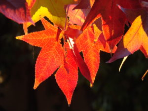 Autumn leaves for thanksgiving craft